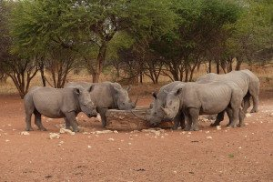 Breitmaul-Nashörner unter sich
