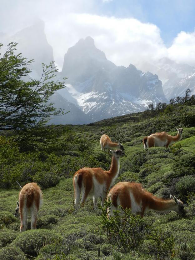 Torres del Paine mit Guanacos.