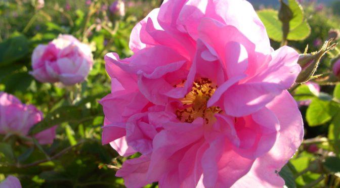 CTOUR vor Ort: Rosenrausch in Bulgarien 1