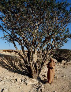 Weihrauchbaum in Dhofar Foto: Dr. Harald Schmidt