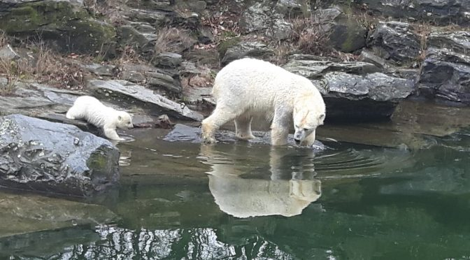 CTOUR-News: Glanzvolle Eisbärbaby-Premiere im Tierpark Berlin 1